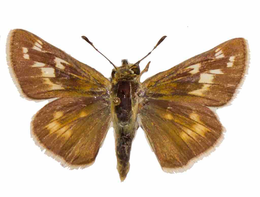 Pawnee Skipper, female, dorsal view