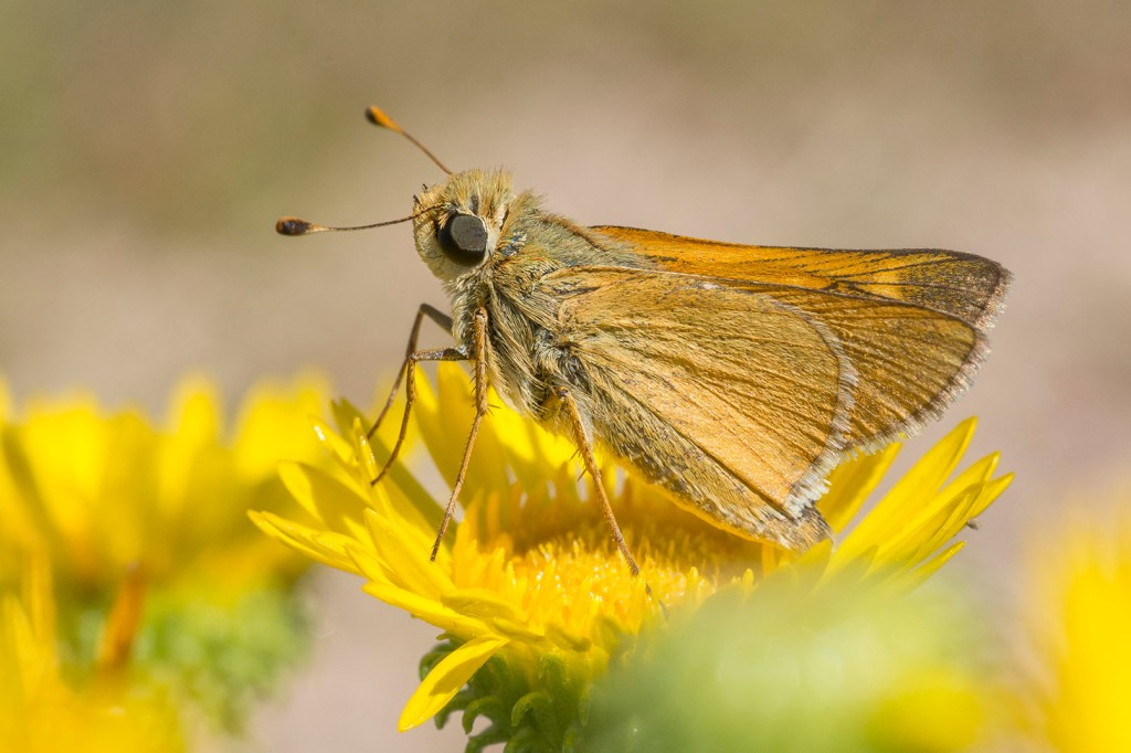 male pawnee skipper, photo by Chris Helzer, 9/3/19, Niobrara valley Preserve